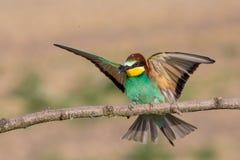 Europese bij-eter met open vleugels, Itali? royalty-vrije stock afbeelding