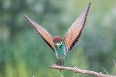 Europese bij-eter met open vleugels, Itali? stock fotografie
