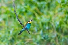 Europese bij-eter vogel merops apiaster zitting op tak met royalty-vrije stock fotografie