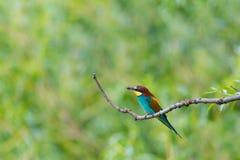 Europese bij-eter vogel merops apiaster zitting op tak met royalty-vrije stock foto's