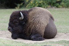 Europese bizon Stock Foto