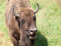 Europese bizon Royalty-vrije Stock Foto