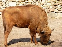 Europese bizon Royalty-vrije Stock Afbeelding