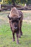 Europese bizon (bizonbonasus) Stock Fotografie