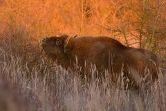 Europese bizon - Bizonbonasus Royalty-vrije Stock Afbeeldingen