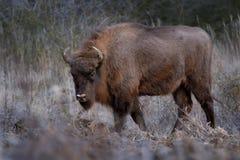 Europese bizon - Bizonbonasus Royalty-vrije Stock Afbeelding
