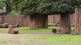 Europese Bizon in dierentuin stock videobeelden