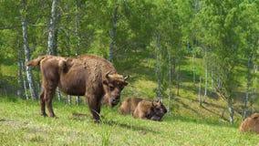 Europese bonasus van de bizonbizon stock video