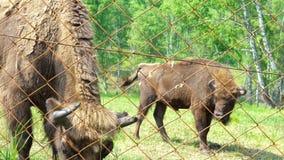 Europese bonasus van de bizonbizon stock videobeelden