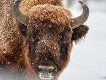 Europese bonasus van de bizonbizon in natuurlijke habitat in de winter stock foto's