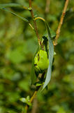 Europese boom-kikker (arborea Hyla) Stock Foto's