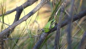 Europese boomkikker, Hyla-arborea, die op grasstro zitten met duidelijke groene achtergrond stock footage