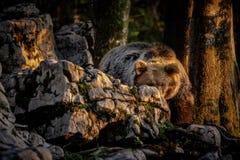 Europese bruin draagt verbergend achter een rots Royalty-vrije Stock Afbeeldingen