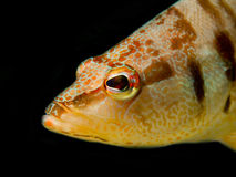 Europese Comber Vissen royalty-vrije stock fotografie