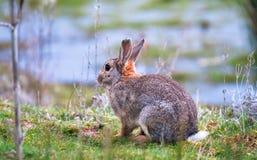 Europese cuniculus van konijnoryctolagus in Engeland royalty-vrije stock foto's
