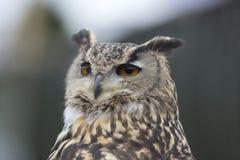 Europese dichte omhooggaand van Eagle Owl Royalty-vrije Stock Foto