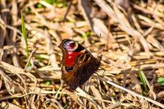 Europese die pauw, meer in het algemeen eenvoudig als pauwvlinder wordt gekend stock afbeelding