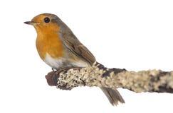 Europese Robin streek op een tak neer - rubecula Erithacus Royalty-vrije Stock Foto