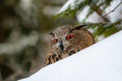 Europese Eagle-uil, Bubo-bubo, in de winter royalty-vrije stock foto