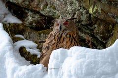 Europese Eagle-uil, Bubo-bubo, in de winter royalty-vrije stock fotografie