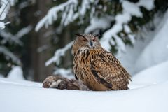 Europese Eagle-uil, Bubo-bubo, in de winter royalty-vrije stock afbeeldingen