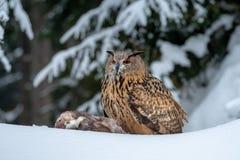 Europese Eagle-uil, Bubo-bubo, in de winter stock fotografie