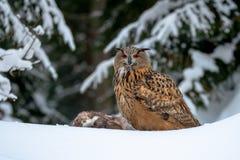 Europese Eagle-uil, Bubo-bubo, in de winter royalty-vrije stock afbeelding