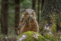 Europese Eagle-uil of Europees-Aziatische Eagle-uil, Bubo-bubo royalty-vrije stock afbeelding