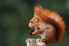 Europese eekhoorn Royalty-vrije Stock Foto's