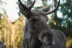 Europese elanden Royalty-vrije Stock Afbeelding