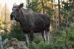 Europese elanden Royalty-vrije Stock Fotografie