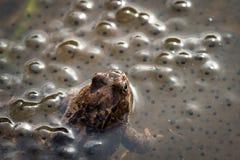 Europese gemeenschappelijke bruine kikker, Rana-temporaria die, mannetje over de eieren, Baneheia Kristiansand Noorwegen letten o royalty-vrije stock fotografie