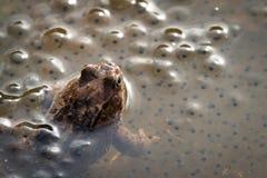 Europese gemeenschappelijke bruine kikker, Rana-temporaria die, mannetje over de eieren, Baneheia Kristiansand Noorwegen letten o royalty-vrije stock afbeeldingen
