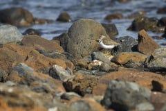 Europese Gemeenschappelijke Sandpiper- hypoleucos van Actitis stock foto