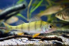 Europese gemeenschappelijke toppositie, Perca-fluviatilis, zoetwater roofdiervissen in biotoopaquarium, onderwaterfaunafoto stock foto's