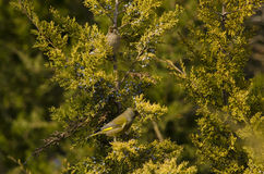 Europese greenfinch Stock Foto's