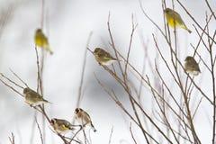 Europese greenfinchs en goldfinchs Stock Foto