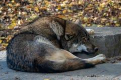 Europese grijze de wolfszweerwolfszweer van wolfscanis royalty-vrije stock afbeelding