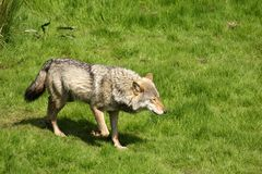 EUROPESE GRIJZE WOLF Stock Foto