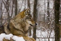 Europese grijze wolf (Canis wolfszweerwolfszweer) Royalty-vrije Stock Foto