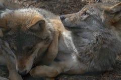 Europese grijze wolf, Canis-wolfszweerwolfszweer, die communaal gedrag tonen terwijl het rusten met jongelui Stock Fotografie