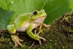 Europese groene boomkikker die voor prooi in natuurlijk milieu sluimeren Stock Afbeelding