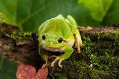 Europese groene boomkikker die voor prooi in natuurlijk milieu sluimeren stock fotografie