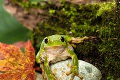Europese groene boomkikker die voor prooi in natuurlijk milieu sluimeren Stock Foto