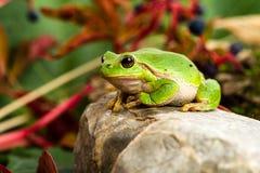 Europese groene boomkikker die voor prooi in natuurlijk milieu sluimeren Stock Afbeeldingen