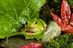 Europese groene boomkikker die voor prooi in natuurlijk milieu sluimeren Royalty-vrije Stock Foto's