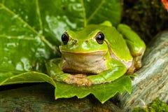 Europese groene boomkikker die voor prooi in natuurlijk milieu sluimeren Stock Foto's
