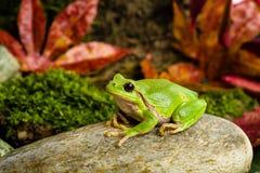 Europese groene boomkikker die voor prooi in natuurlijk milieu sluimeren Royalty-vrije Stock Fotografie