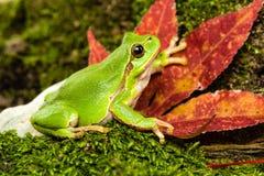 Europese groene boomkikker die voor prooi in natuurlijk milieu sluimeren Royalty-vrije Stock Afbeelding
