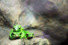 Europese groene boomkikker die voor prooi in natuurlijk milieu sluimeren Gevouwen, aard stock afbeelding